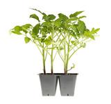 Tomato seedlings ready for transplanting poster