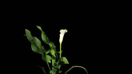Blooming white calla (Calla Zantedeschia), time-lapse
