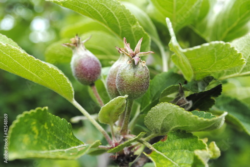 unreife Äpfel