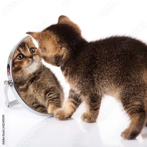 kitten with mirror on white background. kitten looks in a mirror