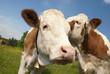Flüsternde Kühe