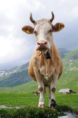 Alpenkuh