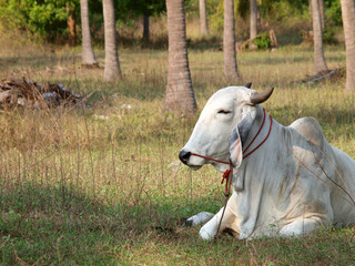 Thai Cow in relax time