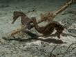 Spiny Seahorse  -  Hippocampus hystrix