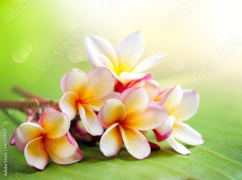 Frangipani Tropical Spa Flower. Plumeria. Shallow DOF