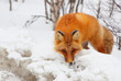 Red fox en face in snowy wood