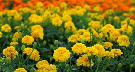Tagetes Blumen