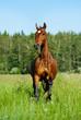purebred horse