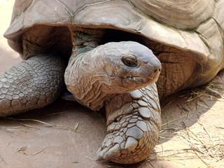 Landschildkröte schaut zur Seite