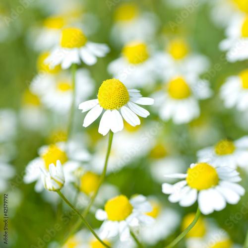 Kamille, Blüten