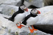 Happy Puffin Couple