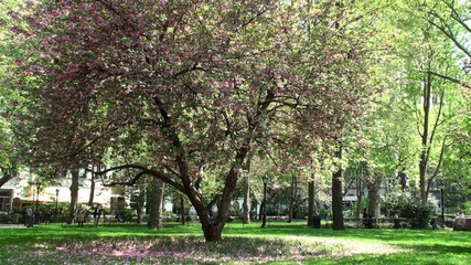 Blossoms of the oriental cherry tree in the Madison Square park