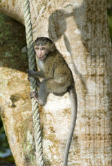 A monkey sitting on a rope