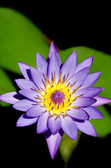 Day Water Lily