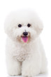 seated bichon frise puppy dog