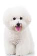 seated bichon frise puppy dog