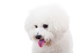 bichon frise puppy dog looking at something