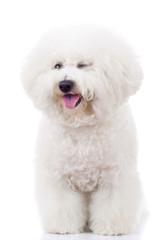 bichon frise puppy dog winking at the camera
