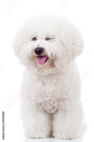 bichon frise puppy dog winking at the camera