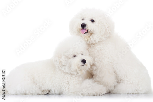 pair of adorable bichon frise puppy dogs