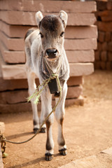 Indian white cow baby