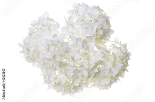 Foto op Canvas Hydrangea White flower hydrangea isolated on white