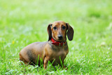 Fototapety dachshund