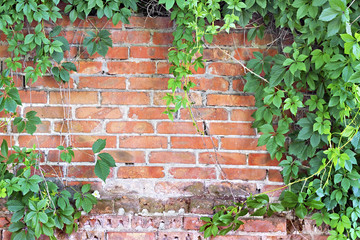 brick wall overgrown with ivy