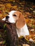Fototapeta jesień - piękny - Zwierzę domowe
