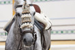 horse andalusian