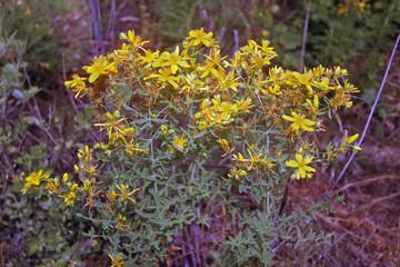 Hipérico en flor, hypericum perforatum