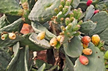 Fichi d'India - Opuntia ficus indica