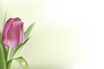 sfondo con tulipano