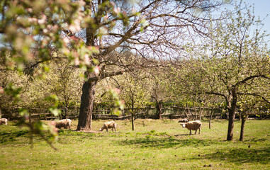 Idyllic rural scenery: sheep grazing in an orchard