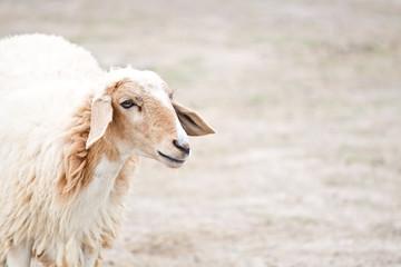 Sheep portrait on a field
