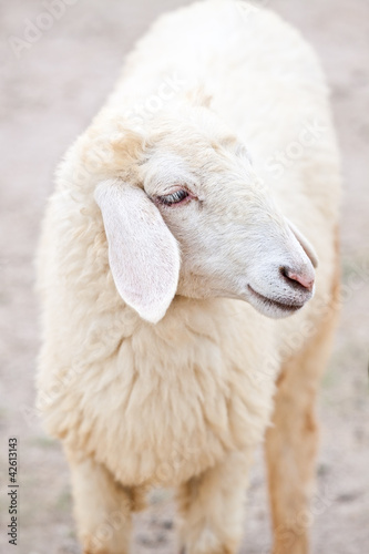 Sheep portrait on a field