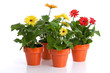 Gerbera daisies in flower pots isolated on white