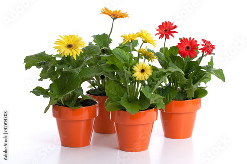 gerbera daisies in flower pots isolated on white by eurobanks royalty free stock photos. Black Bedroom Furniture Sets. Home Design Ideas