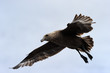 Brown Skua flying against blue sky.