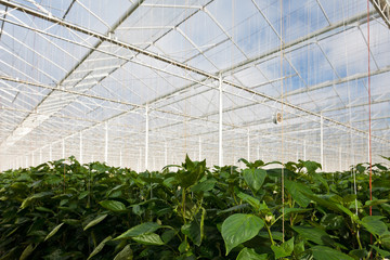 Growth of bell pepper plants inside a greenhouse