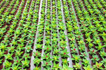 Rows of young purple celosias growing in a greenhouse