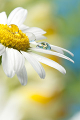 daisy with dew drop with mirroring effect