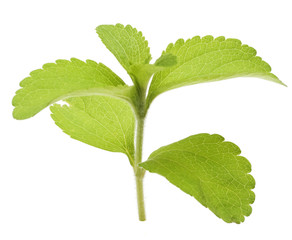 stevia rebaudiana fond blanc