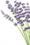 Fototapety Lavendel auf weißem Hintergrund