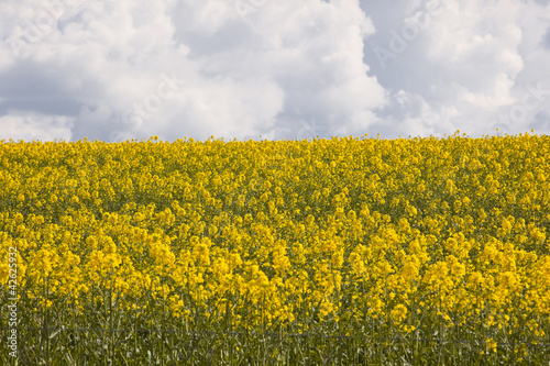 Rapeseed field under heavy storm skies