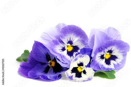 Fotobehang Pansies Violet pansies