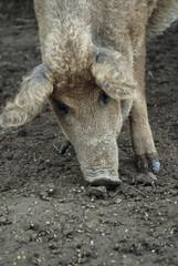 Freilandschwein mit Locken