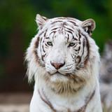 Fototapeta azjatycki - bestia - Dziki Ssak
