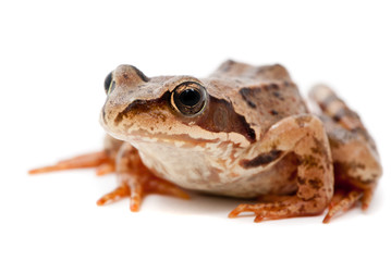 Rana arvalis. Moor frog on white background.