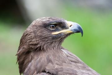 Profile of a hawk